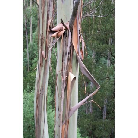Corces d 39 eucalyptus parfum es et d coratives for Rampe escalier bois flotte