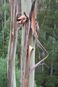 Ecorces d'eucalyptus