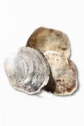 Placuna - Flat shells