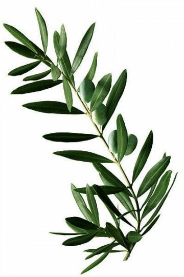 Eucalyptus - Lot de 3 branches