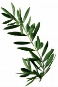 Eucalyptus - Lot de 3 branches